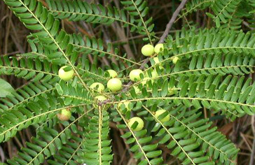 siddha_phyllanthus_emblica